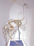 Camelus de esqueleto do Struthio da avestruz Fotos de Stock