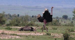 Camelus de la avestruz, del Struthio, varón y acoplamiento femenino, Masai Mara Park en Kenia, metrajes