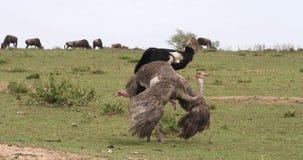 Camelus de la avestruz, del Struthio, varón y hembra, cortejo que exhibe antes de acoplar, Masai Mara Park en Kenia, almacen de metraje de vídeo