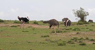 Camelus de la avestruz, del Struthio, varón y hembra, cortejo que exhibe antes de acoplar, Masai Mara Park en Kenia, metrajes