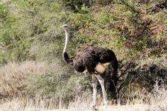 Camelus del Struthio de la avestruz, en Namibia Imagenes de archivo
