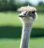 Camelus do Struthio da avestruz Imagem de Stock