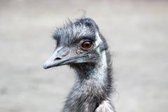 Camelus do Struthio da avestruz Fotografia de Stock Royalty Free