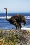 Camelus meridional del struthio de la avestruz Imagenes de archivo
