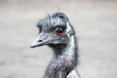 Camelus Struthio страуса Стоковая Фотография RF