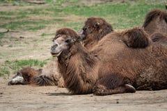 Camelusbactrianus för Bactrian kamel som vilar på jordningen Royaltyfri Bild