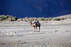 Camelusbactrianusen för Bactrian kamel i den Nubra dalen, Ladakh, Indien Fotografering för Bildbyråer