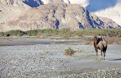 Camelusbactrianusen för Bactrian kamel i den Nubra dalen, Ladakh, Indien Royaltyfri Bild