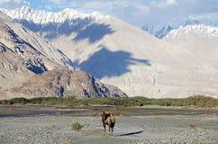 Camelusbactrianusen för Bactrian kamel i den Nubra dalen, Ladakh, Indien Royaltyfri Fotografi