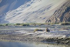Camelusbactrianusen för Bactrian kamel i den Nubra dalen, Ladakh, Indien Royaltyfria Bilder