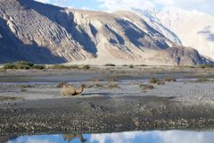 Camelusbactrianusen för Bactrian kamel i den Nubra dalen, Ladakh, Indien Arkivbilder
