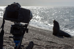 Camera on the beach witj sea lion. Male sea lion seal coming to photographer camera on the beach Stock Image