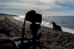 Camera on the beach witj sea lion. Male sea lion seal coming to photographer camera on the beach Stock Photography