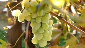 The camera circles around organic grapes .Camera rotates around a grapes. stock footage