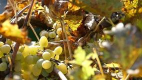 The camera circles around organic grapes .Camera rotates around a grapes. stock video footage