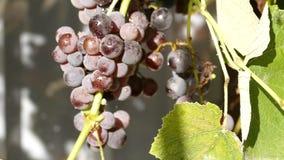 The camera circles around organic grapes .Camera rotates around a grapes. stock video