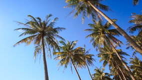 Camera Circles Palms from Downward Sky Bright Sunlight. Camera circles high palms from downward against blue sky and bright white sunlight stock video footage