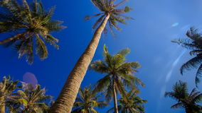 Camera Circles Palms from Downward Sky Bright Sunlight. Camera circles high palms from downward against blue sky and bright white sunlight stock footage
