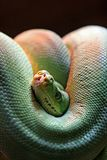 camera coiled green head looking out peering poisonous snake 免版税库存图片