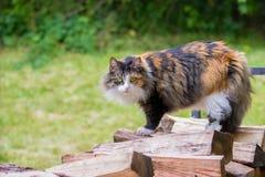 Camera dai capelli lunghi Cat Standing del calicò sul mucchio di legno Fotografia Stock Libera da Diritti