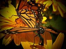 Camera della farfalla dell'insenatura del faggio Fotografie Stock