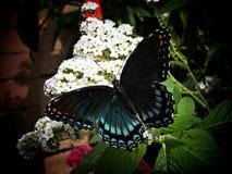 Camera della farfalla dell'insenatura del faggio Fotografia Stock