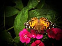 Camera della farfalla dell'insenatura del faggio Fotografie Stock Libere da Diritti