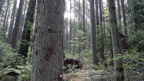 Lush Forest Pacific Northwest 4K UHD stock video footage
