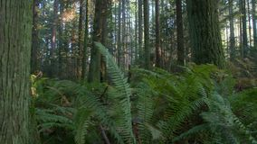 Lush Pacific Northwest Forest dolly shot stock video footage