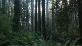 Pacific Northwest Forest Sun dolly shot stock video