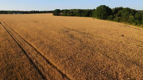 Wheat. The camera flies through the ears of wheat and soars over the field stock video