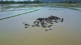Camera Flies over Large Buffaloes Herd Bathing in Dirty Water stock footage