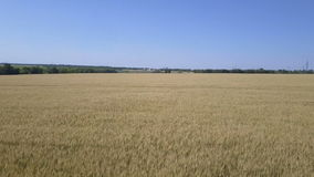 Camera flies over the wheat field stock footage