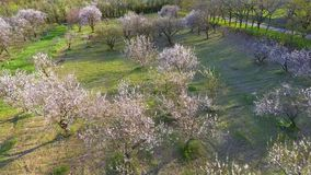 Camera flight over cherry blossom tree. Orchard in spring landscape. Industry and agriculture stock video footage