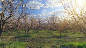 Camera flight over cherry blossom tree. Orchard in spring landscape. Industry and agriculture stock video