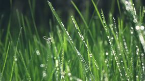 Camera fly through green fresh grass with dew drops., slow motion stock video footage