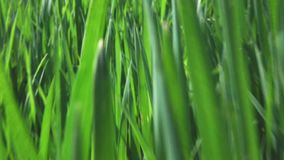 Camera fly through green fresh grass, slow motion stock video footage