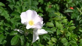 The camera focuses on green bush with white wild rose bud in park or garden. HD footage video. 1080 stock video footage