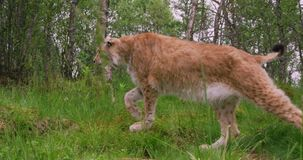 European lynx walking in the forest at summer stock video footage