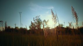 Camera follows through golden dry grass on the background blue sky,. Handheld shot camera follows through golden dry grass on the background blue sky.Beautiful stock footage