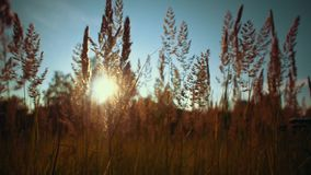Camera follows through golden dry grass on the background blue sky,. Handheld shot camera follows through golden dry grass on the background blue sky.Beautiful stock video footage