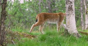 Focused young european lynx going in the forest a summer evening