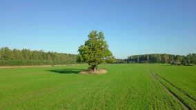 Camera goes on the big tree in the green field. In autumn day stock video footage