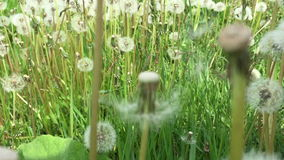 Camera goes through the undergrowth in a field of dandelions. The  Camera goes through the undergrowth in a field of dandelions stock footage