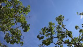 Camera looks up and moves slowly under trees. Tree branches and leaves against blue sky. Warm summer day in los angeles. California USA stock footage
