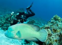 Camera man follows a napoleon wrasse Royalty Free Stock Image