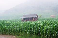 Camera in mezzo ad un campo di grano in Sumbawa Immagine Stock