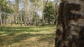 Airy birch forest on a sunny summer day - reveal