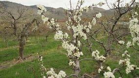 Camera Move, Prune Blossoms, Okanagan stock footage