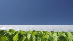 Camera movement along a young green seedlings сhinese cabbage near greenhouse. stock video footage